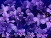 violet_scan1x1200