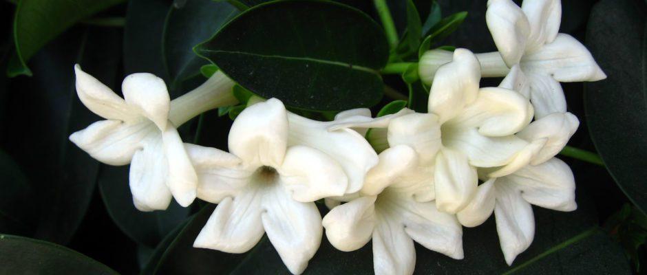 Jasmine_Flowers