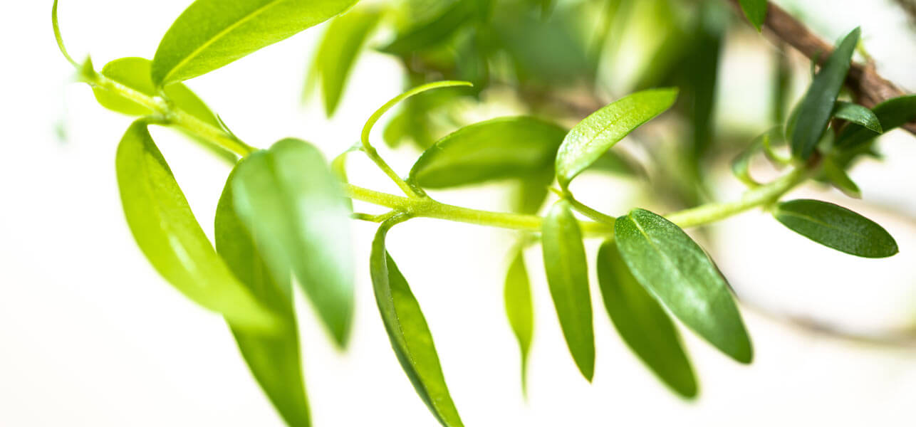 Lemon-Myrtle-Benefits