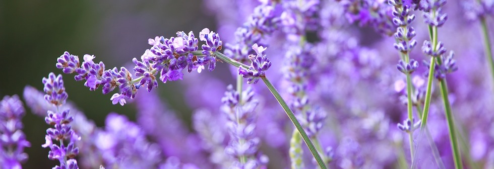 lavender-detail-2