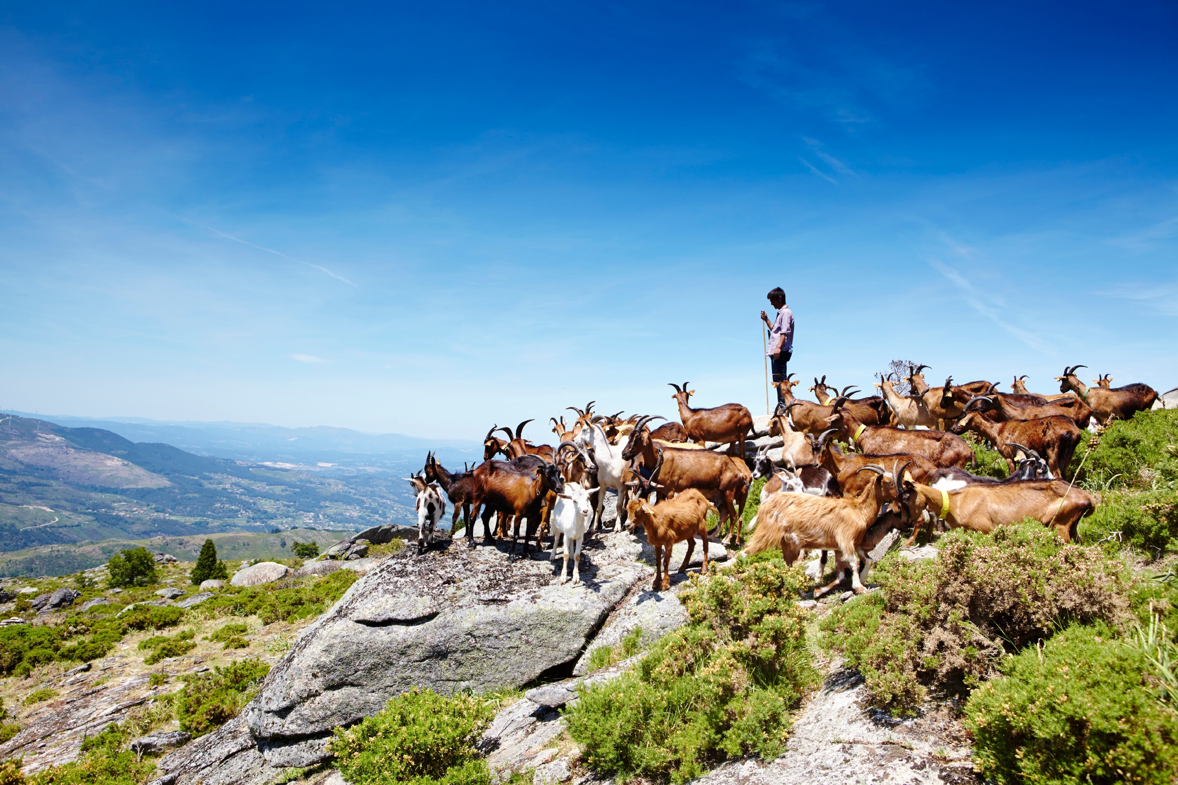 A goat herder takes the high ground in the Parque Nacional da Peneda-Gerês.