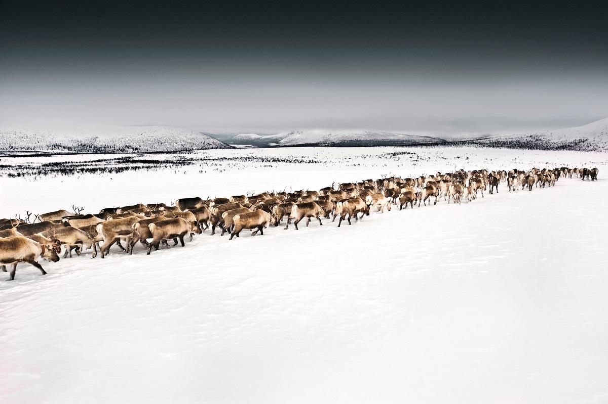 Herd of reindeer walking through snow covered terrain.